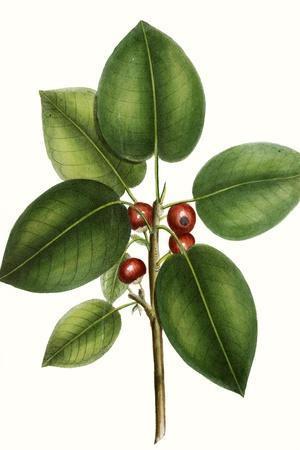 Short leaved Fig Tree