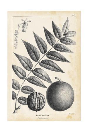 Vintage Black Walnut Tree