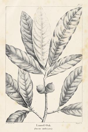 Vintage Laurel Oak Tree