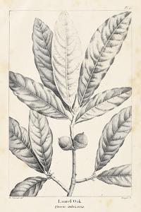 Vintage Laurel Oak Tree by Thomas Nuttall