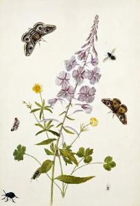 Rosebay Willowherb and Buttercups with Butterflies by Thomas Robins Jr