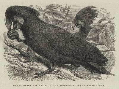 Great Black Cockatoo in the Zoological Society's Gardens