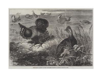The Prairie Grouse in the Zoological Society's Gardens, Regent's Park