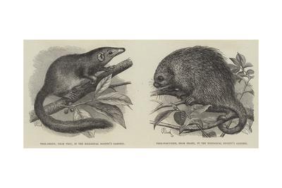 The Tree Shrew and Tree Porcupine