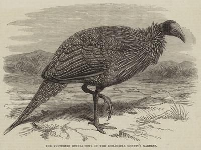 The Vulturine Guinea-Fowl in the Zoological Society's Gardens