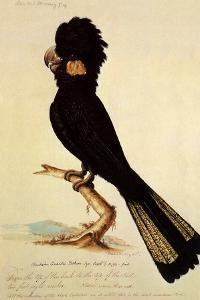 Yellow-Tailed Black Cockatoo, Calyptorhynchus Funereus by Thomas Watling