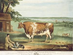 A Short Horned Bull, Patriot, Engraved by William Ward, Shrewsbury, 1810 by Thomas Weaver