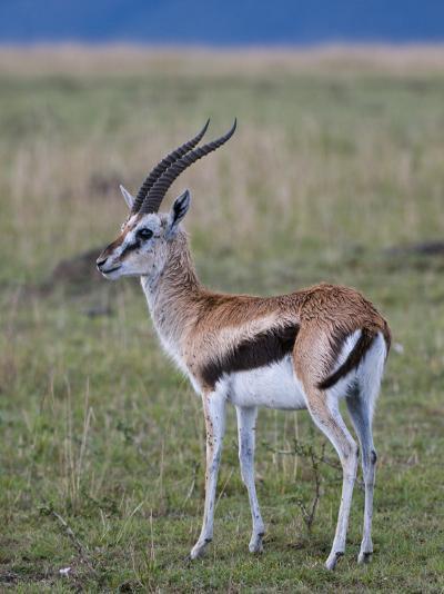 Thomson Gazelle (Gazella Thomsoni), Masai Mara National Reserve, Kenya, East Africa, Africa-Sergio Pitamitz-Photographic Print