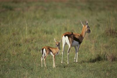 Thomson's Gazelle and Young-DLILLC-Photographic Print