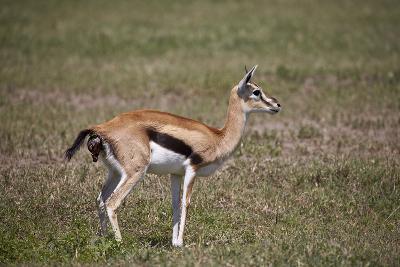 Thomson's Gazelle (Gazella Thomsonii) Female Giving Birth-James Hager-Photographic Print