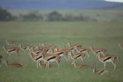Thomson's Gazelle-DLILLC-Photographic Print