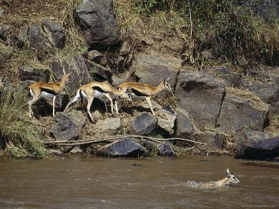 Thomson's Gazelles Walk Along a Rocky River Bank While Another Swims-Norbert Rosing-Photographic Print