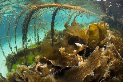 Thong Seaweed (Himanthalia Elongata) and Various Other Seaweeds in Shallows, Inner Hebrides, UK-Alex Mustard-Photographic Print