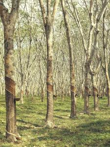Asia, Malaysia, Gumtree Plantation, Rubber Extraction by Thonig