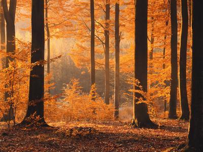 Beech Forest, Autumn