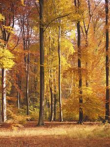 Beech Forest, Autumn by Thonig