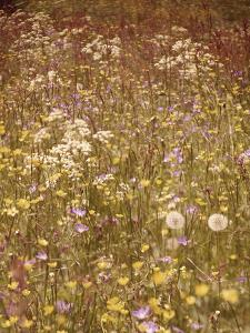 Flower Meadow, Early Summer, Medium Close-Up by Thonig