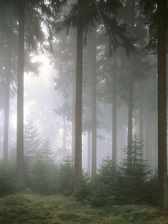Forest, Fog, Incidence of Light