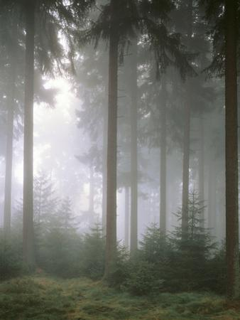 Forest, Fog, Incidence of Light by Thonig