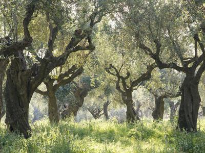 Greece, Olive Grove