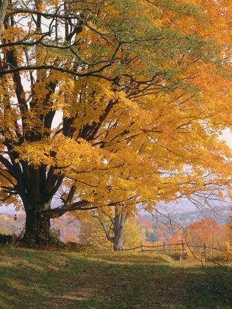 Maple Tree, Autumn