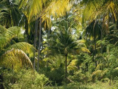 Palm Grove, Coconut Trees by Thonig