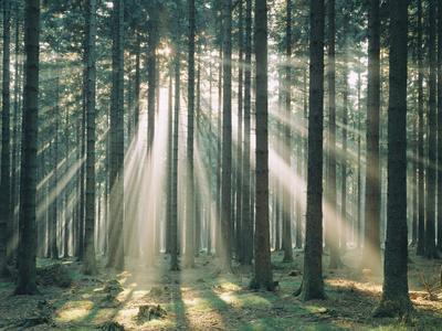 Spruce Forest, Sunbeams, Back Light