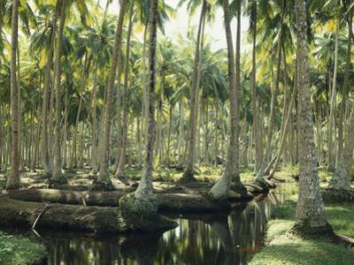 Sri Lanka, Coconut Palm Plantation by Thonig