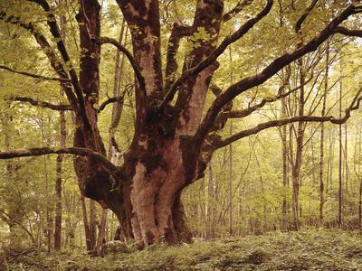 Tree, Harewood, Old, Huge