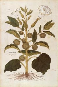 Thorn Apple or Jimson Weed - Datura Stramonium (Stramonia) by Leonhart Fuchs from De Historia Stirp