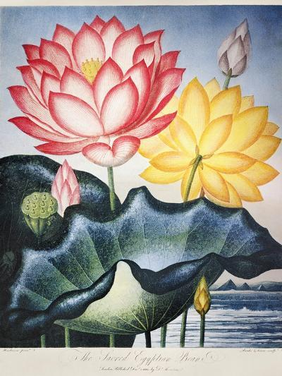 Thornton: Lotus Flower-Thomas Burke-Giclee Print