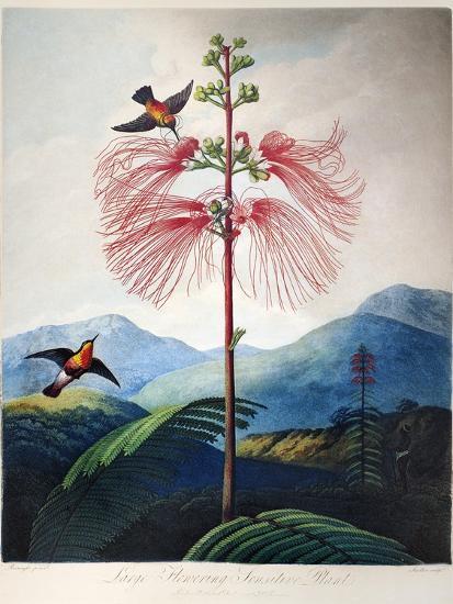 Thornton: Sensitive Plant-Joseph Constantine Stadler-Giclee Print