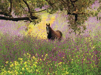 Thoroughbred Horse among Wildflowers in the Chittering Valley, Western Australia-Peter Walton Photography-Photographic Print