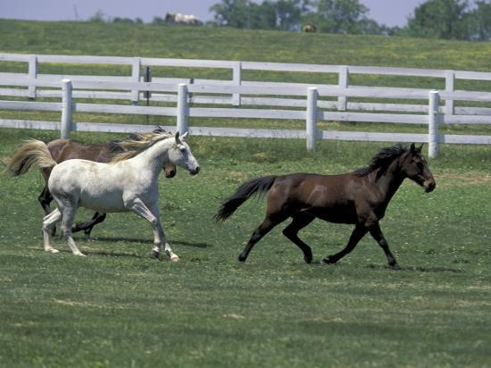 Thoroughbred Horses Running, Kentucky Horse Park, Lexington, Kentucky, USA  Photographic Print by Adam Jones | Art com