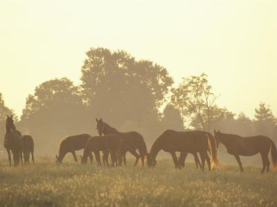 Thoroughbred Race Horses at Sunrise, Louisville, Kentucky, USA-Adam Jones-Photographic Print