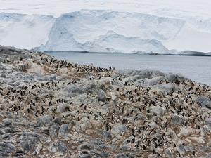 Adelie Penguin Colony (Pygoscelis Adeliae), Commonwealth Bay, Antarctica, Polar Regions by Thorsten Milse