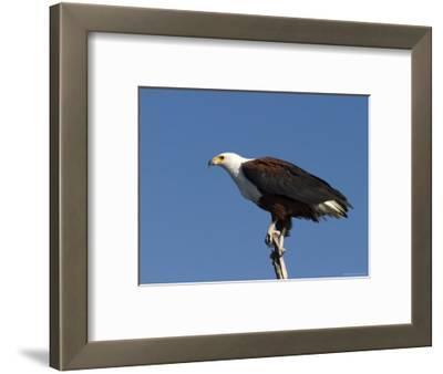 African Fish Eagle, Haliaeetus Vocifer, Chobe National Park, Botswana, Africa