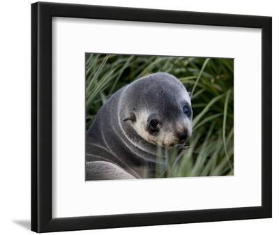 Antarctic Fur Seal (Arctocephalus Gazella), Husvik Island, Antarctic, Polar Regions