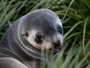 Antarctic Fur Seal (Arctocephalus Gazella), Husvik Island, Antarctic, Polar Regions by Thorsten Milse