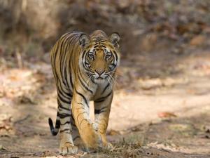 Bengal Tiger (Panthera Tigris Tigris), Bandhavgarh, Madhya Pradesh, India by Thorsten Milse