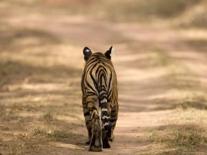 Bengal Tiger, Panthera Tigris Tigris, Bandhavgarh National Park, Madhya Pradesh, India, Asia by Thorsten Milse