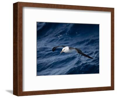 Black-Browed Albatross (Thalassarche Melanophrys), Southern Ocean, Antarctic, Polar Regions