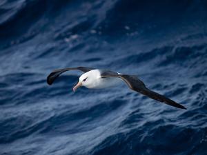 Black-Browed Albatross (Thalassarche Melanophrys), Southern Ocean, Antarctic, Polar Regions by Thorsten Milse