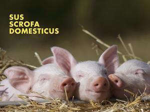 Domestic Pig (Sus Scrofa Domesticus) by Thorsten Milse