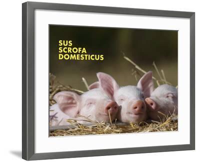 Domestic Pig (Sus Scrofa Domesticus)