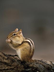 Eastern Chipmunk, (Eutamia Spp), Algonquin Provincial Park, Ontario, Canada by Thorsten Milse