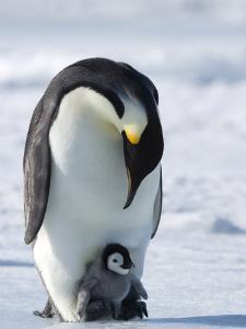 Emperor Penguin (Aptenodytes Forsteri) and Chick, Snow Hill Island, Weddell Sea, Antarctica by Thorsten Milse