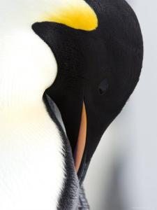 Emperor Penguin (Aptenodytes Forsteri), Snow Hill Island, Weddell Sea, Antarctica, Polar Regions by Thorsten Milse