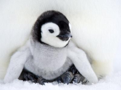 Emperor Penguin Chick (Aptenodytes Forsteri), Snow Hill Island, Weddell Sea, Antarctica
