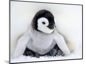 Emperor Penguin Chick (Aptenodytes Forsteri), Snow Hill Island, Weddell Sea, Antarctica by Thorsten Milse